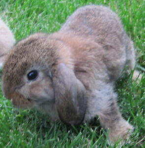 Two Holland Lops 2 Months Old for Sale