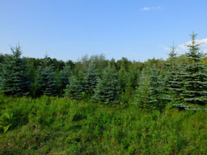 Live Spruce trees for sale