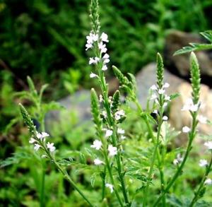 Herb - Vervain  (Verbena Officalis)
