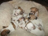 chihauhau xjack russel boys and girls very small little pups