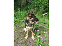 Male german shepherd puppy 7 mths old castrated very loving boy