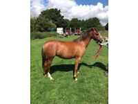 12.2hh Welsh sec b mare 5 year old
