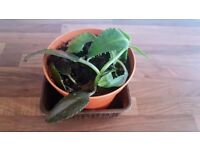 Mother of Thousands Pot Indoor Succulent House Plant | Bryophyllum Daigremontianum | Leeds
