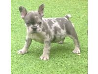 BLUE MERLE FRENCH BULLDOG PUPPIES