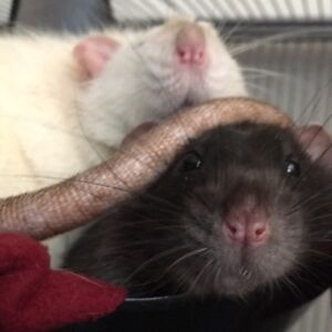 Two Adult Male Rats need a new friendly owner