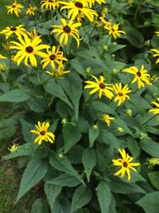black eye susans and other perenials