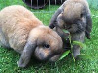 2 female Rabbits - Mini Lops. Fully House Trained!