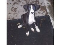 Collie whippet suluki greyhound girl