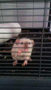 5 Female Rats and Double Critter Nation Cage