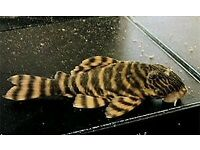 "L002 Tiger Pleco for sale 3-4"" - live tropical fish"