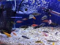 10x Assorted Malawi 3-4cm - £25 Malawi cichlids HUGE OFFER!