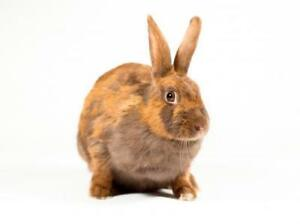 "Adult Female Rabbit - Rex: ""Merida"""