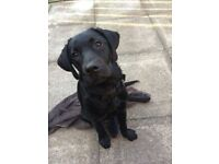 Free 5 month old Labrador puppy. Good home only