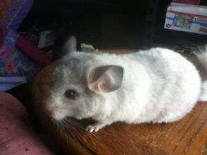 Young Chinchillas for sale!