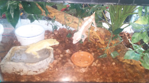 Breeding pair of Crested Gecko's.