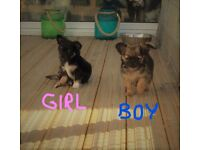 Long Coat Chihuahua Pups 1 girl and 1 boy Ready for their new home on Thursday 24th August