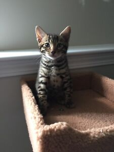 TICA Registered Bengal Kittens