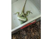 Chinese water dragon for sale