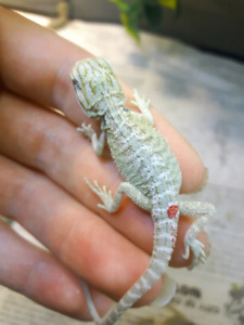 Speciality bearded dragons available