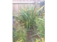 Very large bare rooted Phormium fro the garden - evergreen
