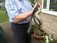 Carpet Python.