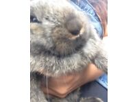 Giant French lop babies for sale