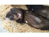 3 baby polecat ferret kits