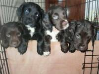 Ready to go Cocker Spaniel Puppies