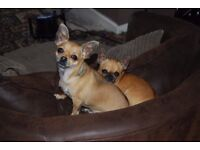 two year old chihuahuas