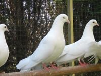 fantail white doves for sale