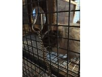 URGENT SALE 1 MALE DEGU NEED GONE ASAP CAN COME WITH CAGE OR SEPERATE