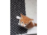 Cute ginger an white kitten for sale £60 de-fleaed and litter trained ready to go today