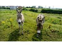 2 grey mare donkeys