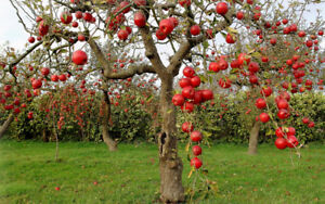 Heritage Apple Tree Varieties Wanted