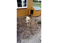 1and half year of Labrador for sale