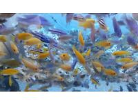 Various Malawi Cichlids from £1.50 to £12