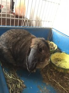 Holland Lop Bunny everything included