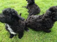 Lovely poochon pups
