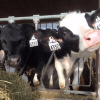 Dairy Farm Looking for Part-time Milker