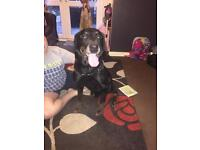 11 Year Old Male Rotty Looking For His Forever Home...