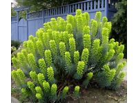 Perennial Plants only £4 each - Euphorbia Wulfenii - Available 19 August