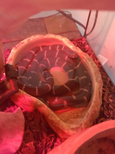 California Kingsnake with all supplies