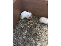 2 beautiful baby female guinea pigs preferably sold in pair (open to offers)