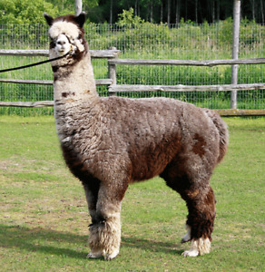 My Alpaca Alfred FOR SALE