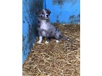 2 beautiful girl collie pups left for sale