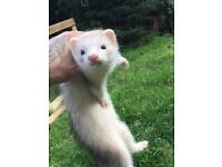 16 week old ferret kits 1 hob 1 Jill