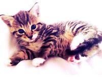 Bengal Mixed Kittens