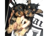 Tiny chorkie puppies chihuahua x Yorkshire terrier