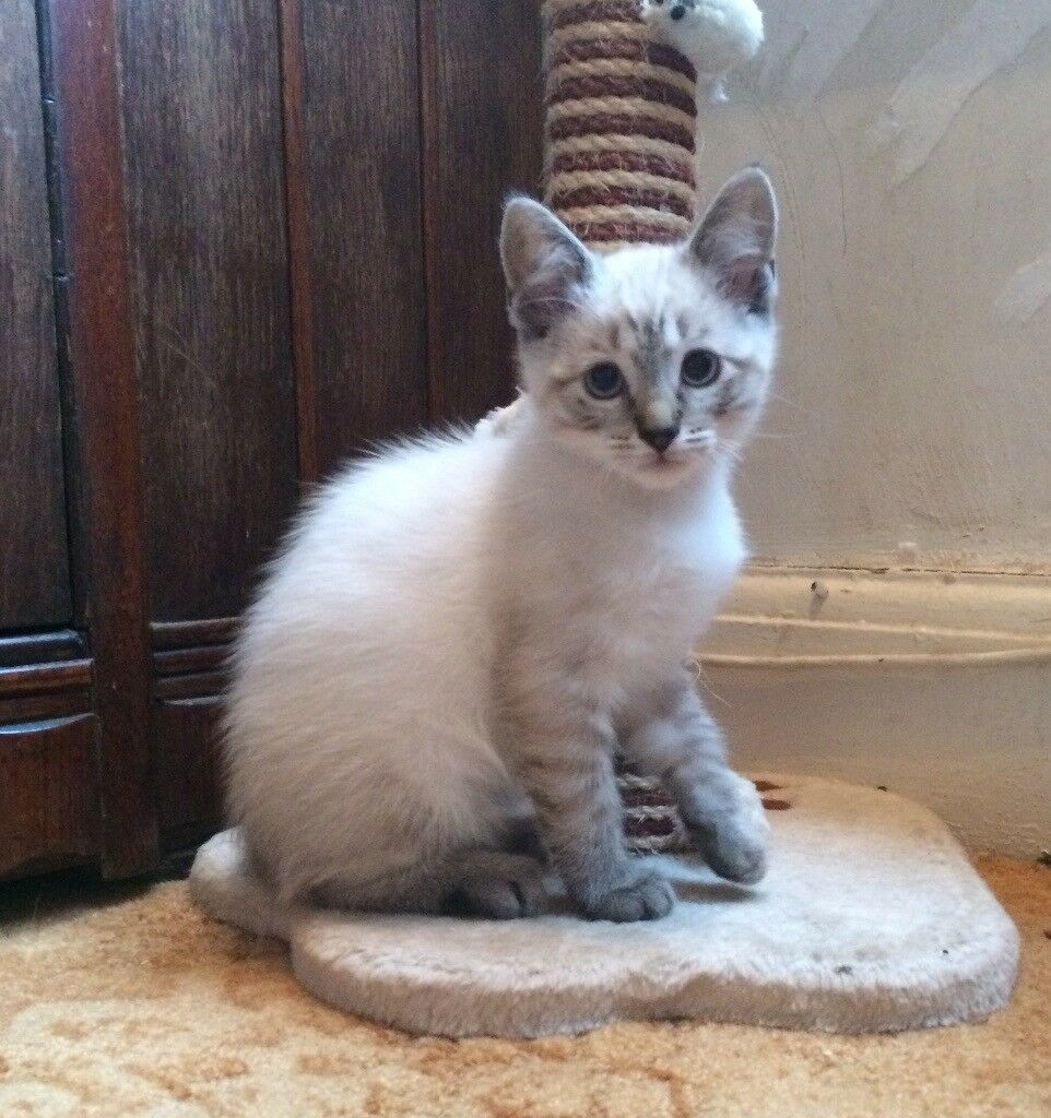 Ragdoll x snow Bengal kittens | in Coalville, Leicestershire | Gumtree