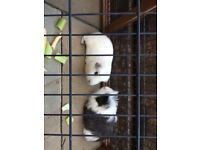 Guinea Pigs x2 brothers for re-homing for FREE